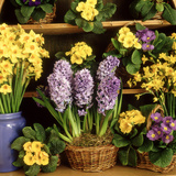 Spring Flower Arrangement Primula (Polyanthus)  Narcissus  Hyacinthus