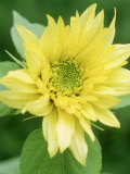 "Helianthus ""Starburst Lemon Aurea"" (Sunflower)"