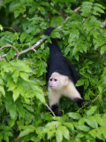 White Throated Capuchin Monkey Hanging from a Branch  Panama City  Panama