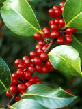 Ilex X Altaclarensis Marnockii (Holly)