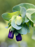 Cerinthe Major (Purpurescens)  Close-up of Hanging Purple Flowers