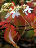 Viburnum Plicatum (Autumn Colour)  November