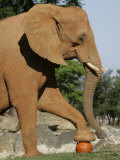 An African Elephant Prepares to Smash a Pumpkin