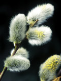 Salix Capiea (Pussy Willow)  Close-up of Catkins  February