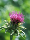 Silybum Marianum (Holy Thistle)