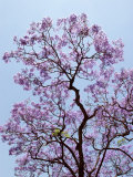 Jacaranda Trees Blooming in City Park  Buenos Aires  Argentina
