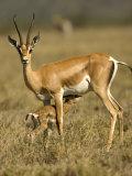 A Female Grants Gazelle Nursing Her Baby in a Field (Gazella Granti)