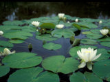 White Water-Lily in Bloom  Comox Valley  British Columbia