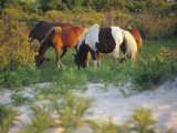 Wild Ponies Graze on Tender Grasses