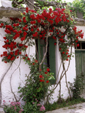 Bright Red Rose Climbing Over Whitewashed Cottage  Crete