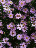 "Aster ""Little Carlow"" Perennial Close-up of Daisy Like Mauve Flowerheads"