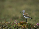 Portrait of a Dunlin  Calidris Alpina