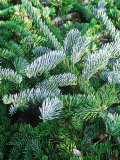 Abies Pinsapo &quot;Glauca&quot; Close-up of Evergreen Foliage
