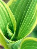 Hosta Montana (Aureomarginata)