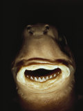 A Close View of the Mouth of a Specimen Cookie Cutter Shark