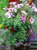 Annuals in Container  Petunia Lobelia  Verbena