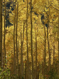 A Stand of Autumn Colored Aspen Trees