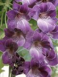 "Gladiolus ""Violetta"" (Medium Gladiolus Group)"