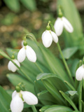 Galanthus &quot;Augustus&quot; (Snowdrop) February Bulb