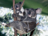 A Mother Koala Proudly Holds Her Ten-Month-Old Baby  Sydney  Australia  November 7  2002