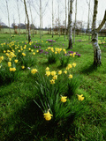 Narcissus (Daffodil) and Crocus Planted in Drifts Among the (Betula) Silver Birch Trees