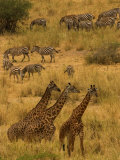 Three Masai Giraffe in Foreground with a Herd of Common Zebras Behind