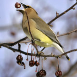 A Cedar Waxwing Tosses up a Fruit from a Flowering Crab Tree  Freeport  Maine  January 23  2007