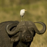 Portrait of a Cape Buffalo with a Cattle Egret Perched on Its Head (Syncerus Caffer)