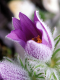 Pulsatilla Vulgaris Pasque Flower