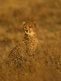 A Young Cheetah Sitting in Grass Illuminated in a Golden Light (Acinonyx Jubatus)
