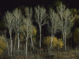 Aspen Trees Stand Barren Late in the Fall