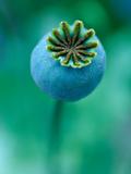 Seedhead of Papaver Somniferum (Poppy)  Close-up of Green Seedhead