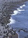 Magellan Penguin Colony  Punta Tombo  Patagonia  Punta Tombo Provincial Reserve  Argentina