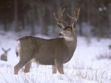 Mule Deer Buck in Winter