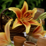 "Still Life of Orange Lilium (Lily) ""First Crown"" in Small Garden"