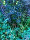 Panicum Virgatum and Cotinus Coggygria Planted Together  September