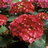 Hydrangea Macrophylla &quot;Firelight&quot; (Syn H &quot;Leuchtfeuer&quot;)