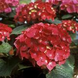 "Hydrangea Macrophylla ""Firelight"" (Syn H ""Leuchtfeuer"")"