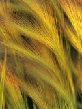 Foxtail Barley