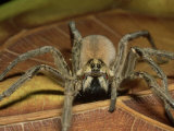 Wolf Spider  Ocala National Forest  Florida