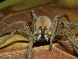 Wolf Spider  Ocala National Forest  Florida