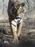 Bengal Tiger  3 Year Old Male  India