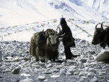 Yaks at Everest Base Camp  Tibet