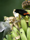 Palm Tanager and Scarlet-Rumped Tanager  Two Birds Fighting on Bananas  Osa Peninsula  Costa Rica