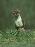 Stoat  Mustela Erminea Standing on Rock UK