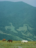 Horses Graze on Big Yellow Mountain  Appalachian Mountains  North Carolina