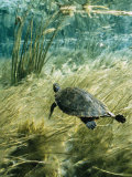 Rare Suwannee Cooter Turtle Swims through Clear Florida Waters