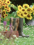 Wellington Boots  Basket  Helianthus (Sunflower)  Apple