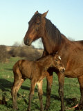 Horse  with Foal  Brown Mare and Newly Born South Yorkshire