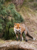 Red Fox  Young Male Fox Standing Amongst Pine Trees  Lancashire  UK